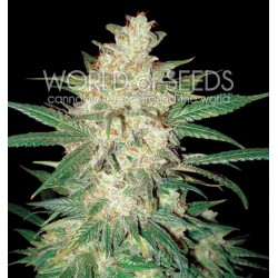 World Of Seed Sweet Coffee Ryder 12Und Auto