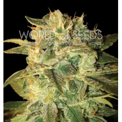 World Of Seed Sugar Mango Ryder 3Und Auto