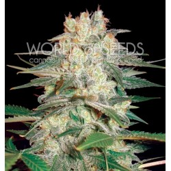 World Of Seed Afgan Kush Ryder 12Und Auto