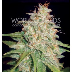 World Of Seed Mazar X White Rhino 12 Und Fem
