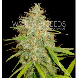World Of Seed Afgan Kush X Skunk 7 Und Fem