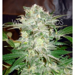 World Of Seed Mazar Kush 3 Und Fem