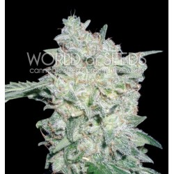 World Of Seed Afgan Kush Special 7 Und Fem