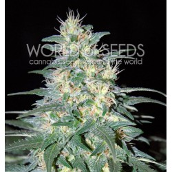World Of Seed South African Kwazulu 7Und Fem