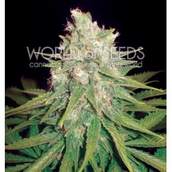 World Of Seed Mazar X Great White Shark 3 Und Fem