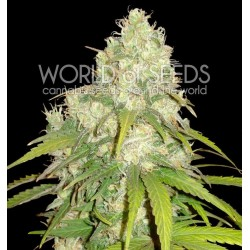 World Of Seed Afgan Kush X Yumbolt 12 Und. Fem.