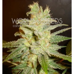 World Of Seed Northern Light X Big Bud 7 Und Fem