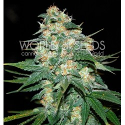 World Of Seed Skunk 47 12 Und Fem