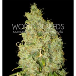 World Of Seed Northern Light X Skunk 12 Und Fem