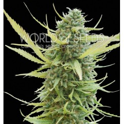 World Of Seed Colombian Gold 10Und Reg.