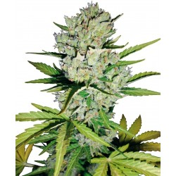 Sensi White Label Super Skunk Auto 10Und