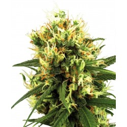 Sensi White Label White Haze 5Und Auto
