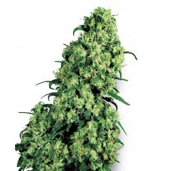 Sensi White Label Skunk Nº1 10Und. Fem.