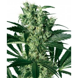 Sensi White Label X-Haze 10Und. Fem.
