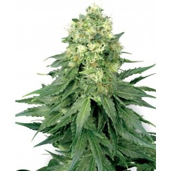 Sensi White Label White Widow 3Und Fem.