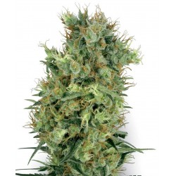 Sensi White Label California Orange Bud 10Und Reg.