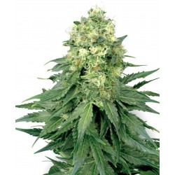 Sensi White Label White Widow 10Und Reg.
