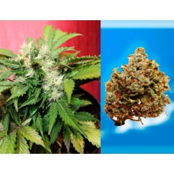 Joint Doctor´S Betty Boo 5Und Auto Fem.
