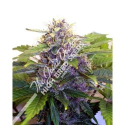 Joint Doctor´S Purple Ryder 10Und Auto Reg.
