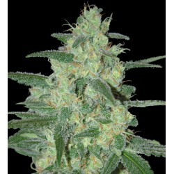 Samsara Seeds Holy Grail 69 1Und Fem.