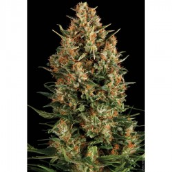 Pyramid Seeds Auto Wembley 1Und