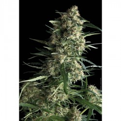 Pyramid Seeds Galaxy 5Und