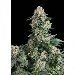 Pyramid Seeds New York City 5Und