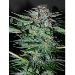 Professional Seeds Northern-Dwarf Auto 3Und