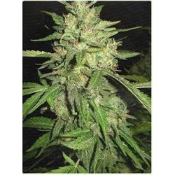 Professional Seeds Widow 10Und Fem.