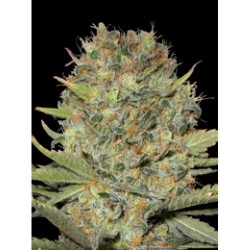 Professional Seeds Duble Gum 3Und Fem.