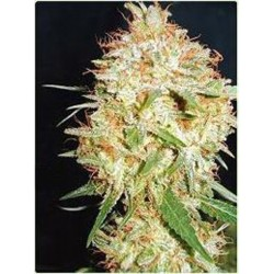 Professional Seeds Critical Widow 10Und Fem.