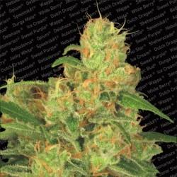 Paradise Seeds Auto Acid 3Und
