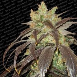 Paradise Seeds Spoetnik1 5Und Fem.