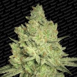 Paradise Seeds Jacky White 5Un.Fem.