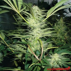 Medical Seeds White Widow 3Und