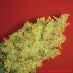Medical Seeds Jack La Mota 10Und