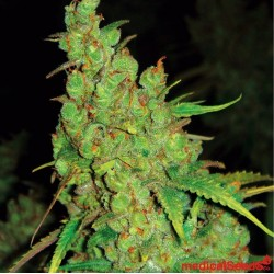 Medical Seeds 1024 5Und
