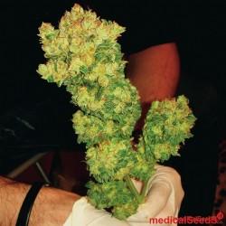 Medical Seeds Sour Diesel 10Und