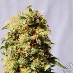 Kannabia Seeds La Reina de Africa 5Und Fem.
