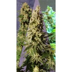 Kannabia Seeds Sabor Mix 6Und