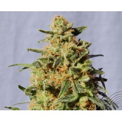 Kannabia Seeds White Domina 1Und Fem.