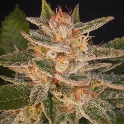 Delicious Seeds Cheese Candy 3Und Fem
