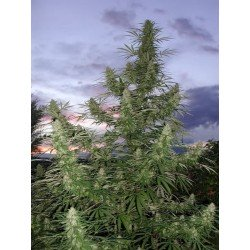 Cannabiogen Jamaica Blue Mountain 5Und Reg.