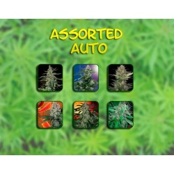 Buddha Seeds Assorted 10Und Auto
