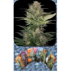 Buddha Seeds Red Dwarf Blister 10Und Auto