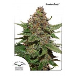 Strawberry Cough ® (5 semillas fem.)