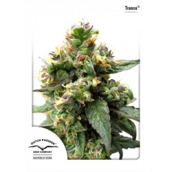 Trance ® (10 semillas fem.)