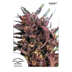 Purple Star ® (10 semillas fem.)