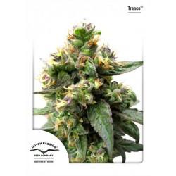 Trance ® (5 semillas fem.)