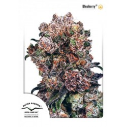 Blueberry ® (10 semillas fem.)